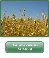 Picture of oats. Available varieties. Contact us link.