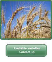 Picture of wheat. Available varieties. Contact us link.